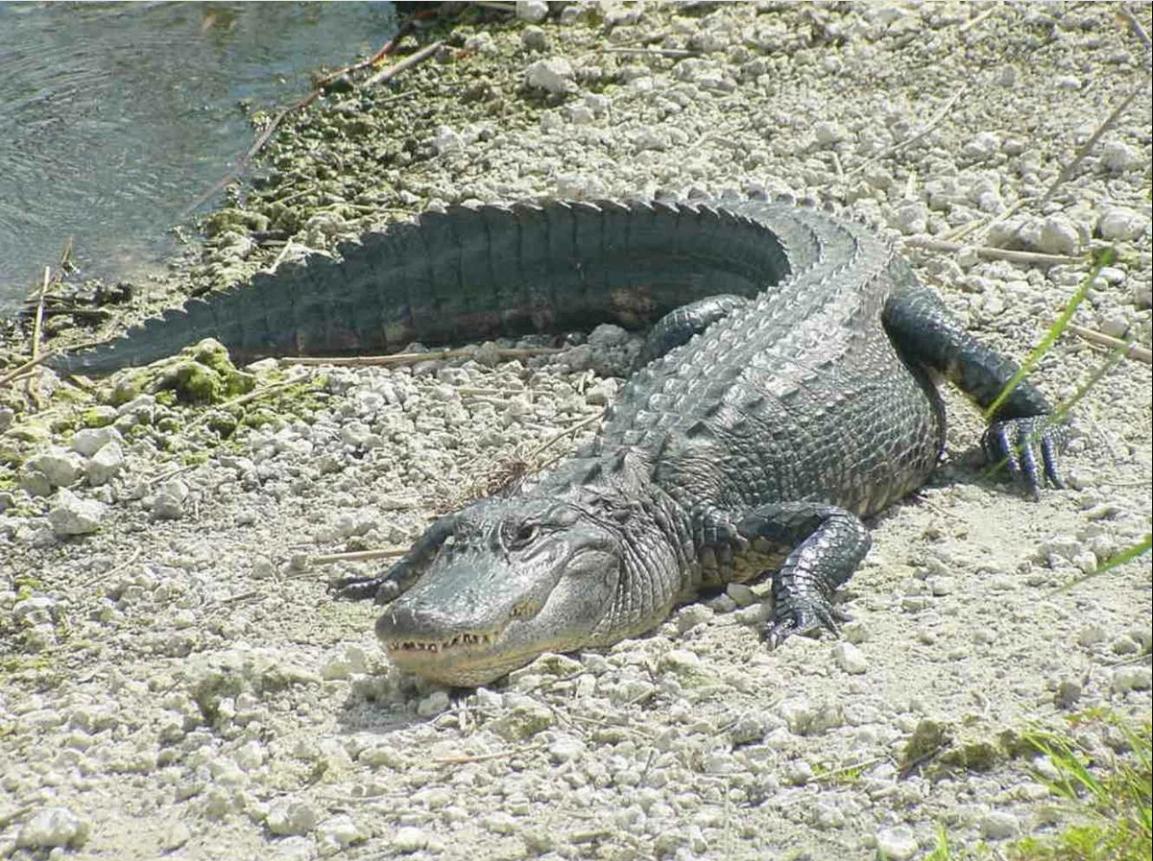 Крокодилы в Доминикане