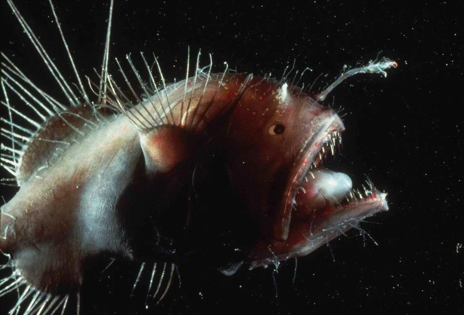 Доминиканская рыба-удильщик